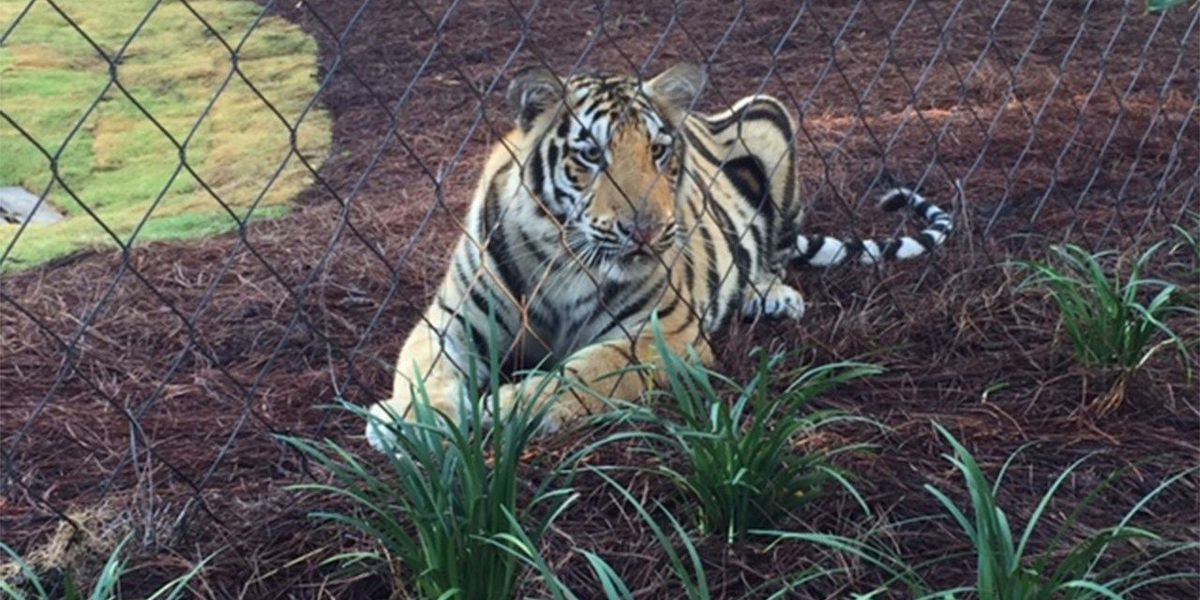 LSU warns about the dangers of bringing ANY type of animal near Mike VII's glass