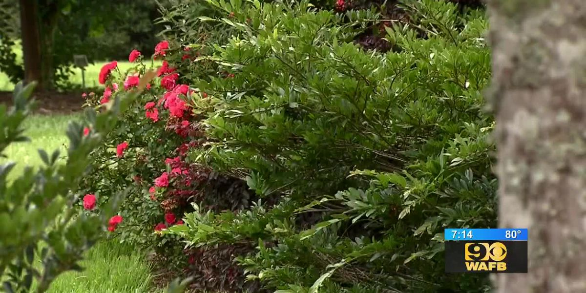GET IT GROWING: Here's an evergreen shrub that'll spruce up your yard