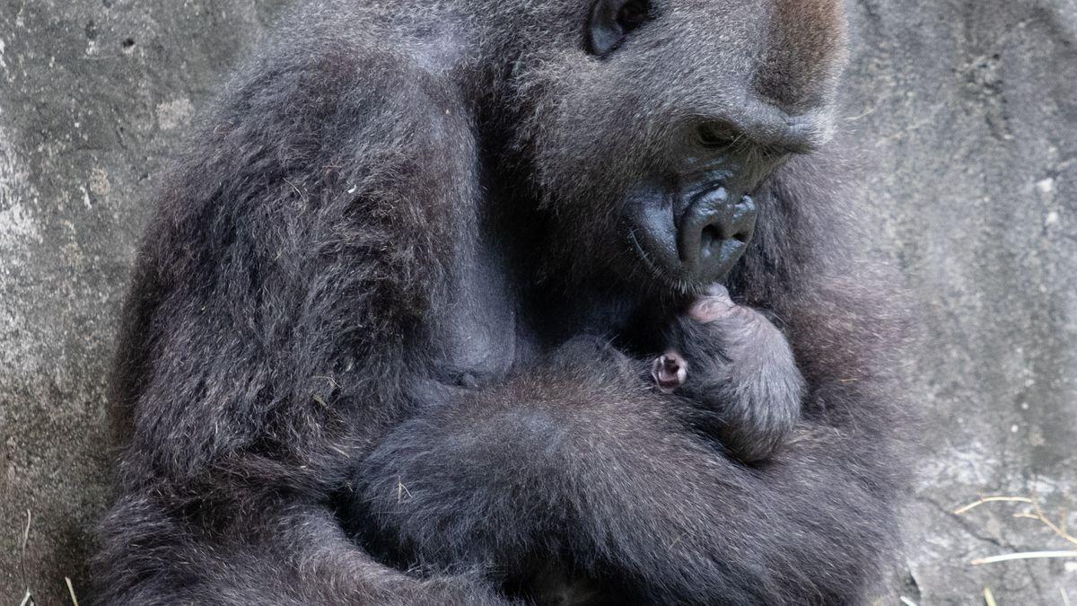 VIDEO: Audubon Zoo welcomes critically endangered baby gorilla