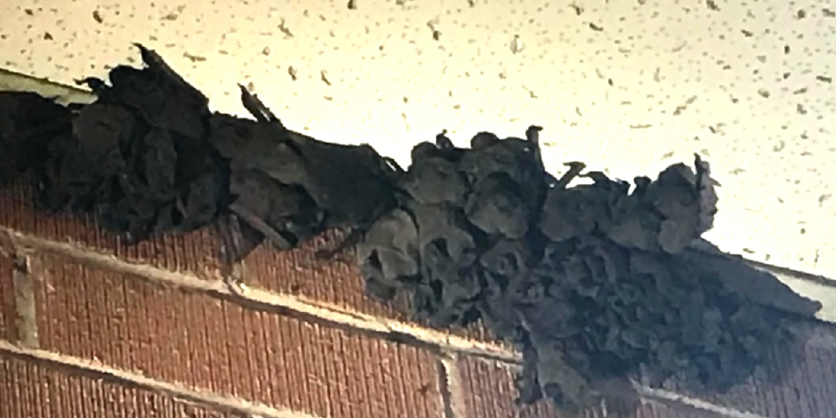 Migrating bat swarms causing headaches for some schools