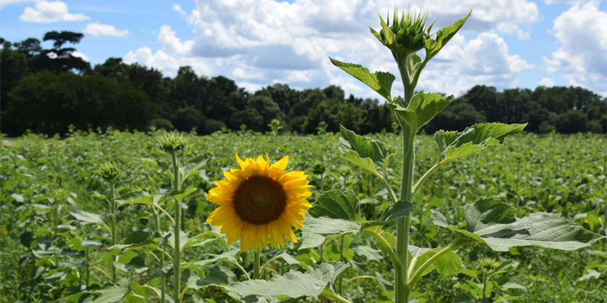 Picture time! Sunflower season came early at LSU AgCenter Botanic Gardens