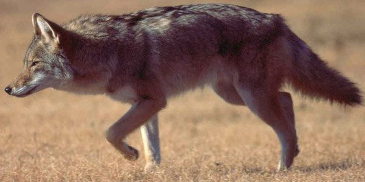 St. John the Baptist Parish re-activates contract to trap coyotes