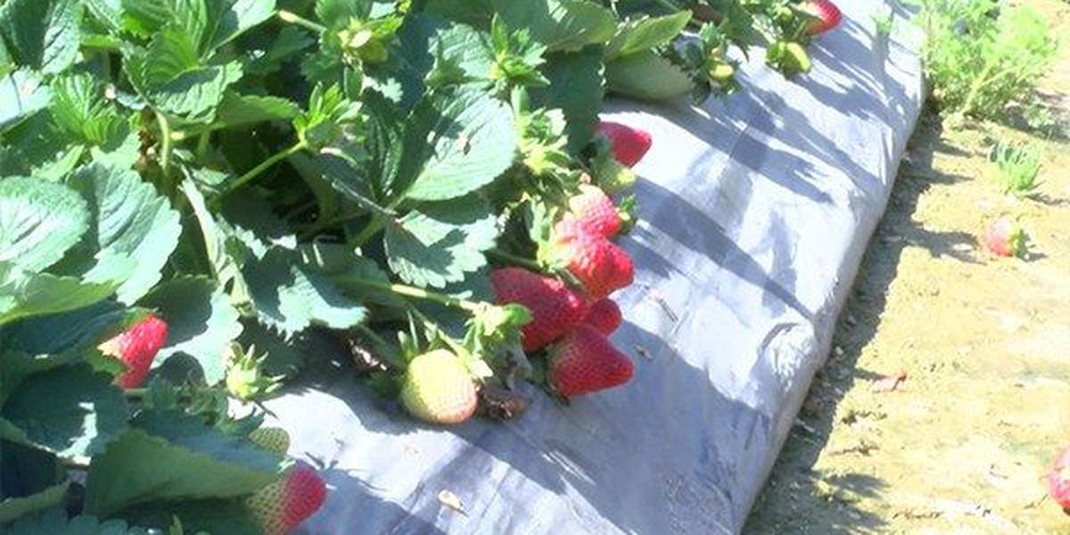 LSP issues alternate routes for Ponchatoula Strawberry Festival