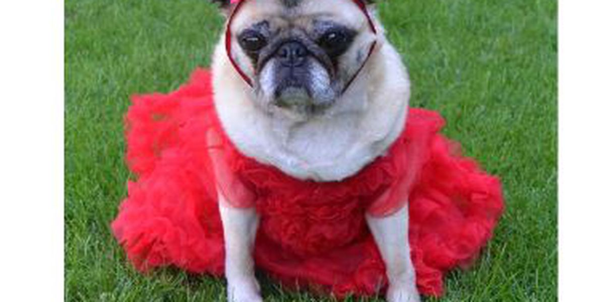 Jefferson Parish Animal Shelters to waive all fees....if you wear a red dress