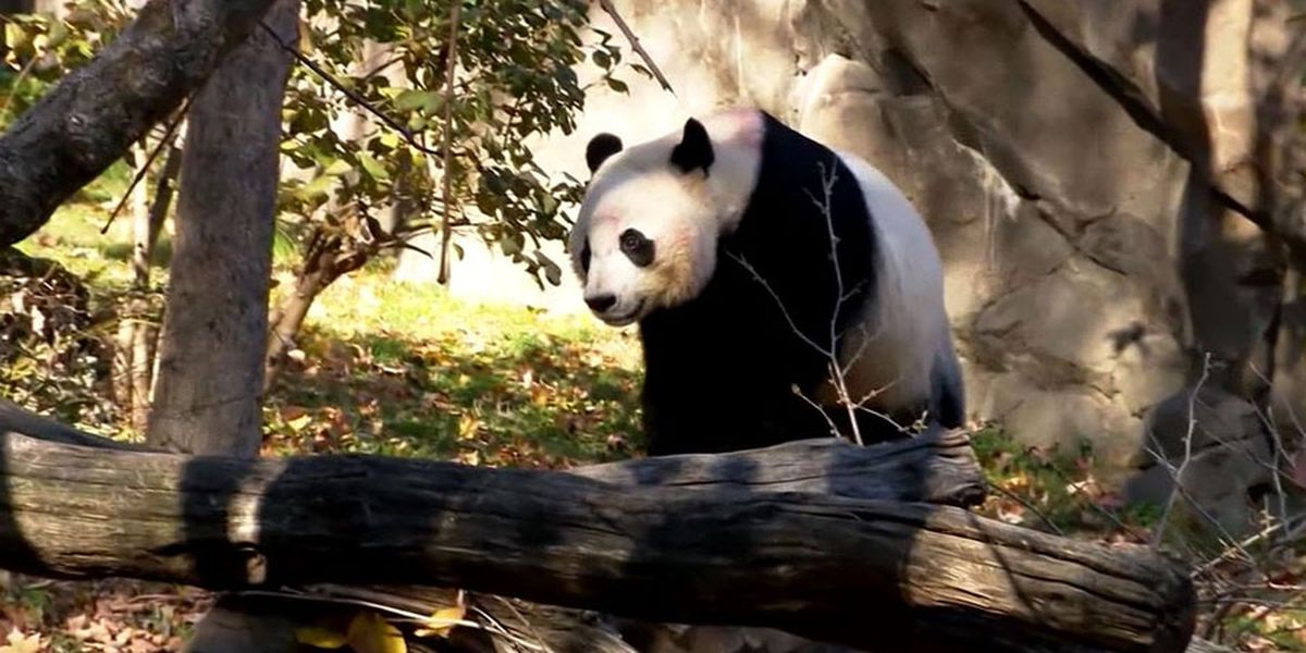 Fans say goodbye to Bei Bei the panda, leaving the National Zoo in D.C. for China