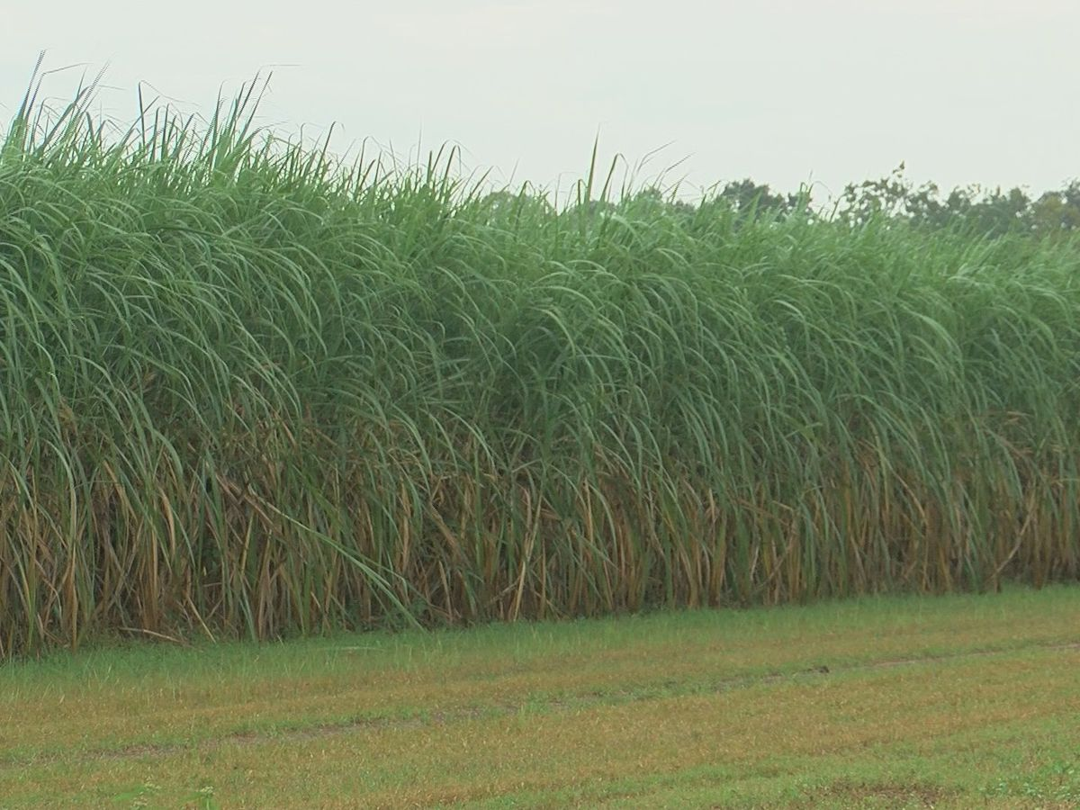 On eve of sugarcane harvest, farmers anxiously await results from months of labor