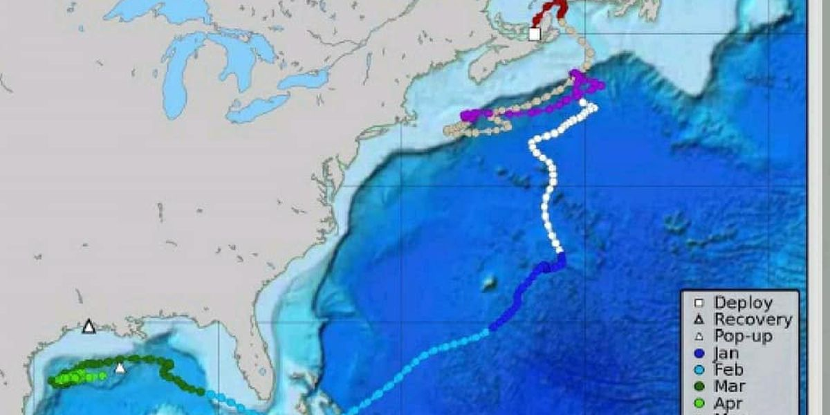 Tag from bluefin tuna showed travels from Canada to Gulf of Mexico