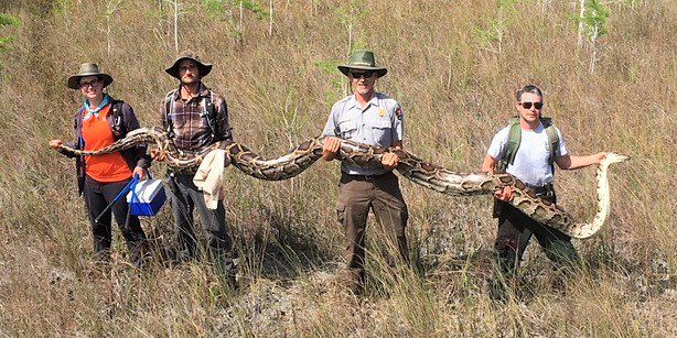 17-foot-long female python caught using male pythons; picture goes viral