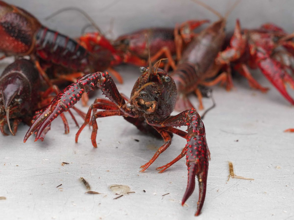 LSU AgCenter plans crawfish workshops in South Louisiana