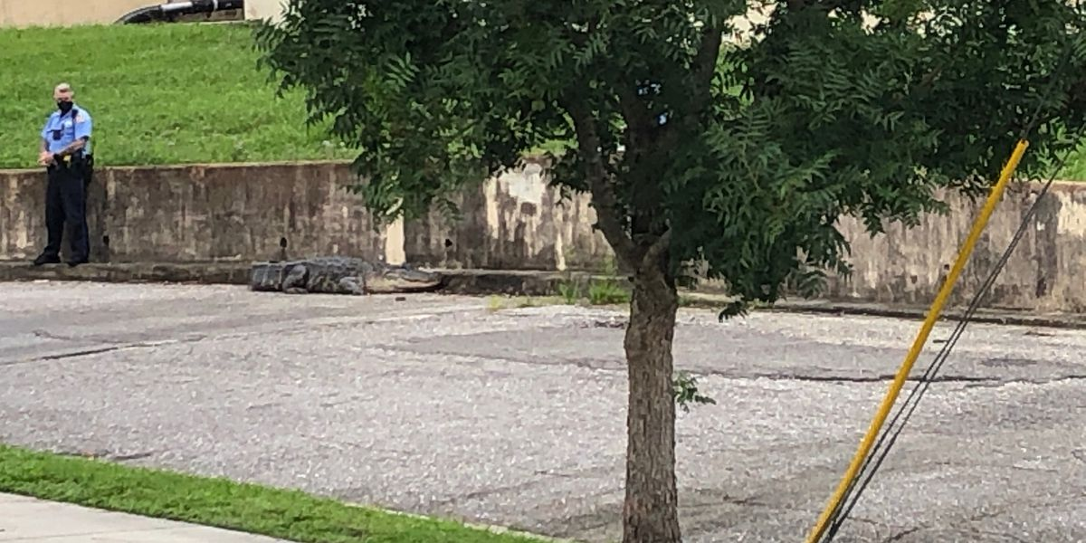 Big Gator captured, euthanized near Lakeview near school