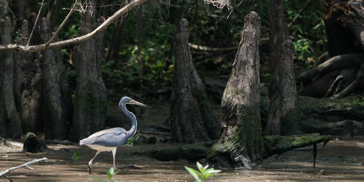 $130 million project aims to save Louisiana's Maurepas Swamp