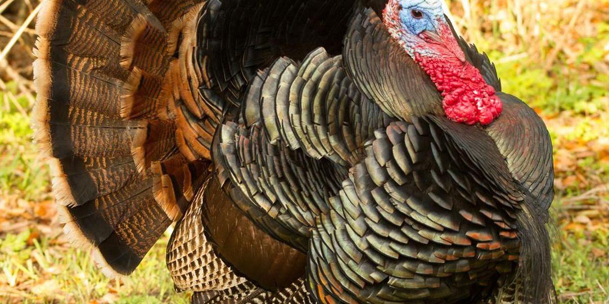 2018 turkey season lottery hunt applications now available