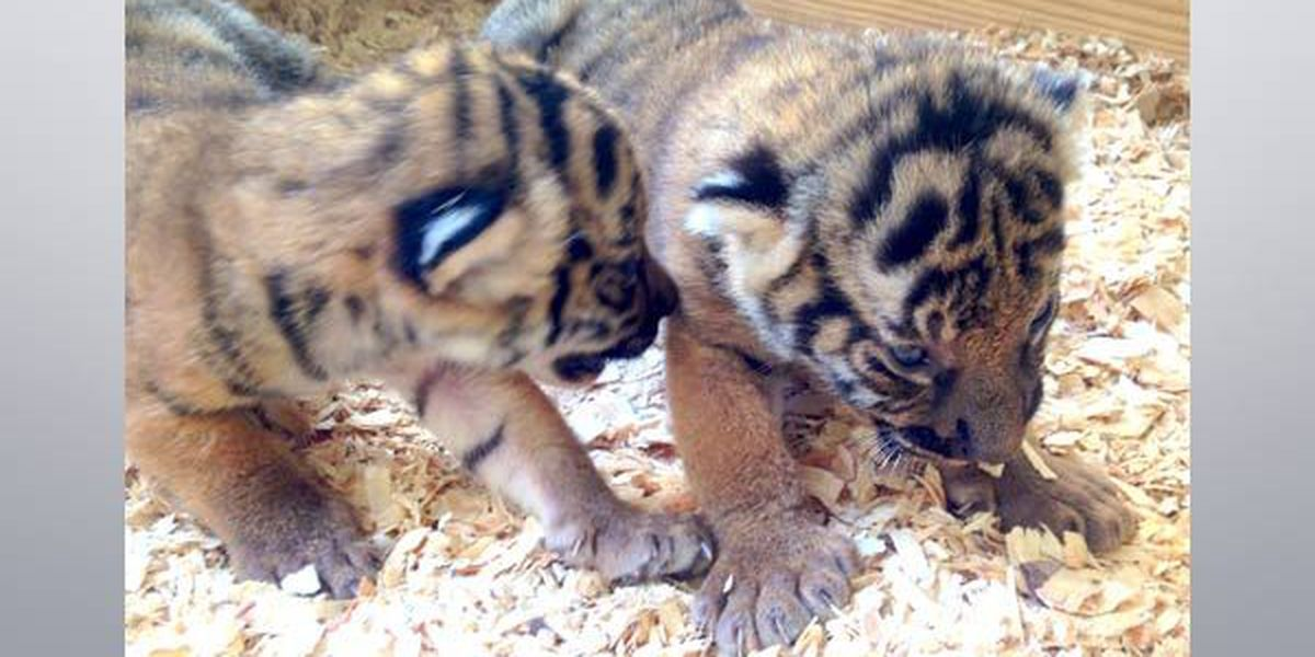 BR Zoo tiger cubs are 3-weeks old, starting to walk