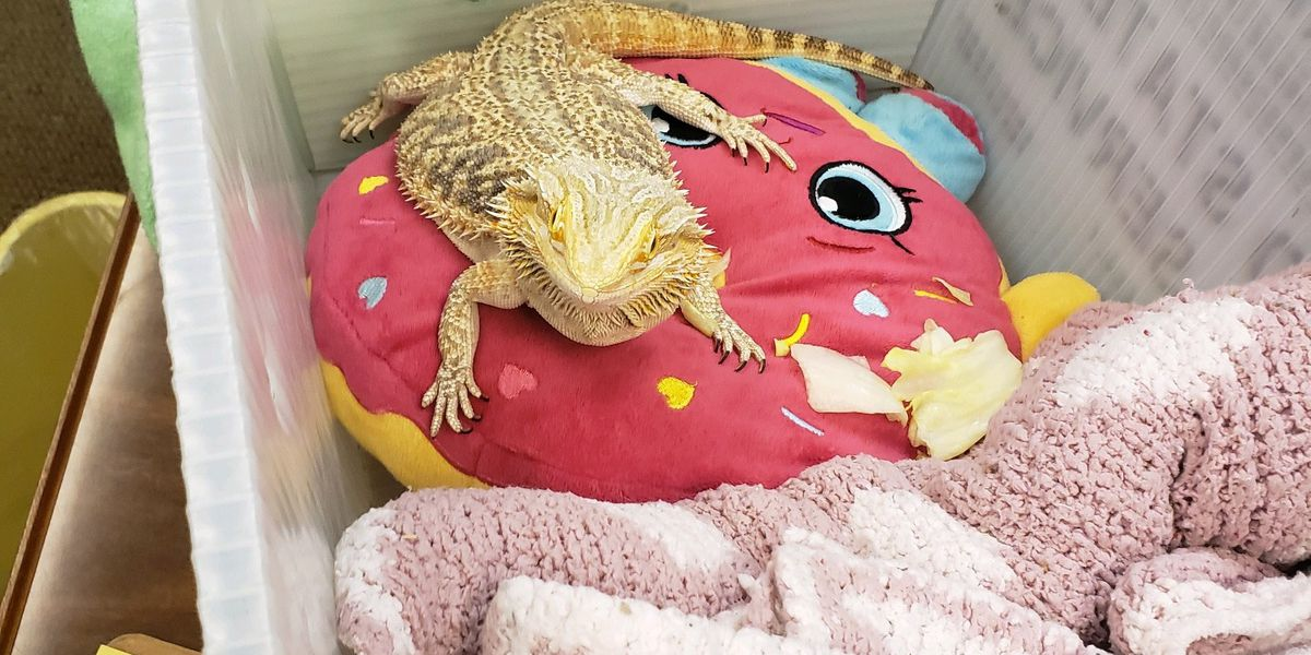 Florida girl brings pet bearded dragon to school so he won't be lonely