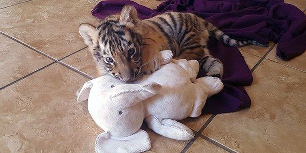The Envy of LSU: fan recalls encounter with cub she believes became Mike VII
