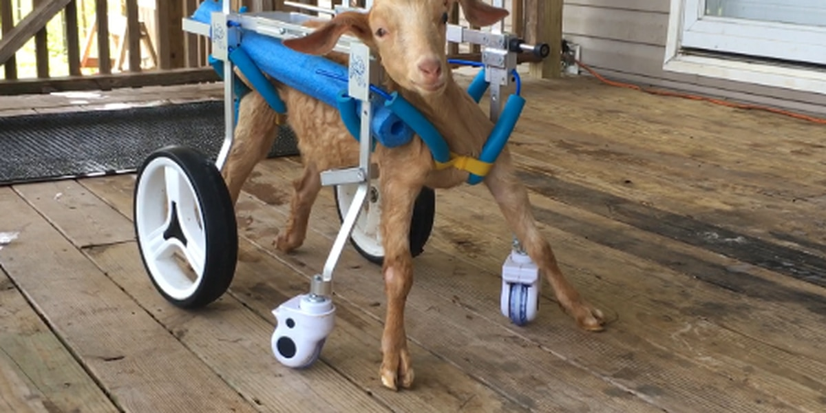 Local woman rehabilitates baby goat after neck and spinal injury