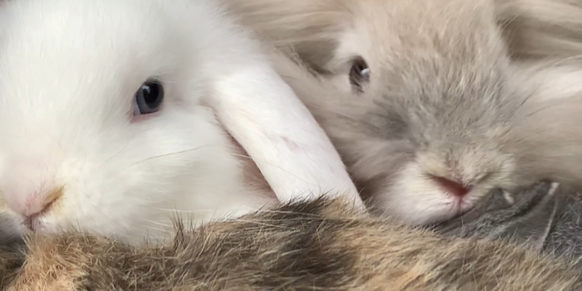 Bunny breeder asks families to think through adopting bunnies for Easter