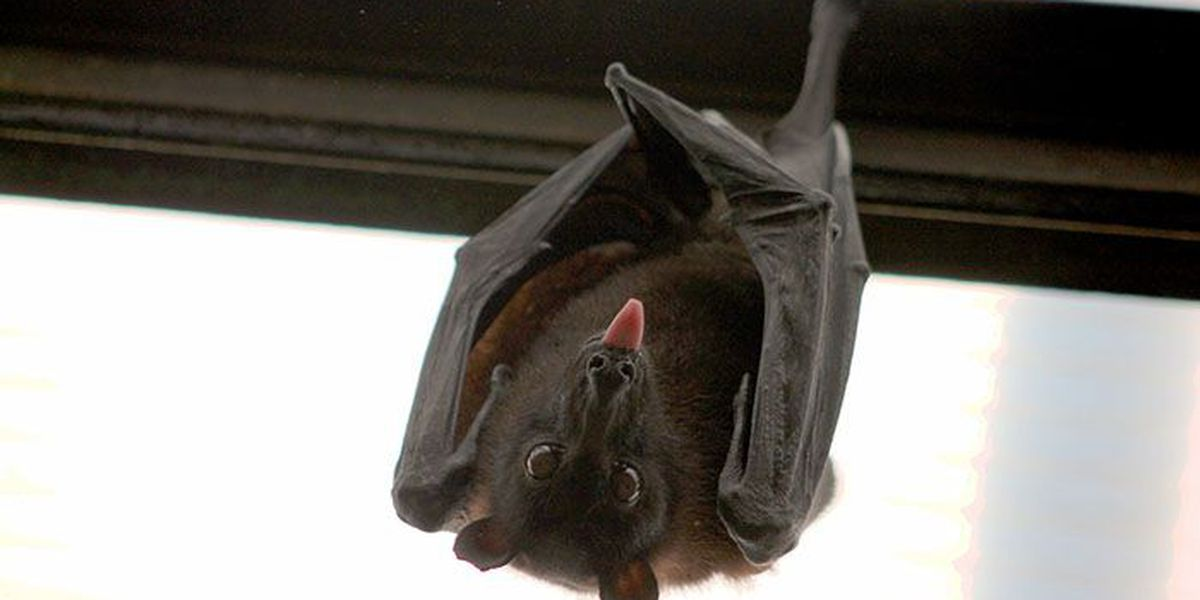 Louisiana biologists ask for help to detect deadly bat disease
