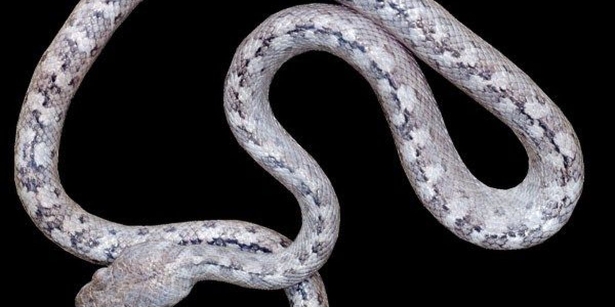 'Lolo' the Madagascar ghost snake found by LSU researchers