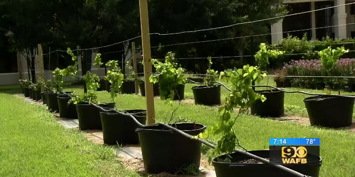GET IT GROWING: Keeping care of muscadine