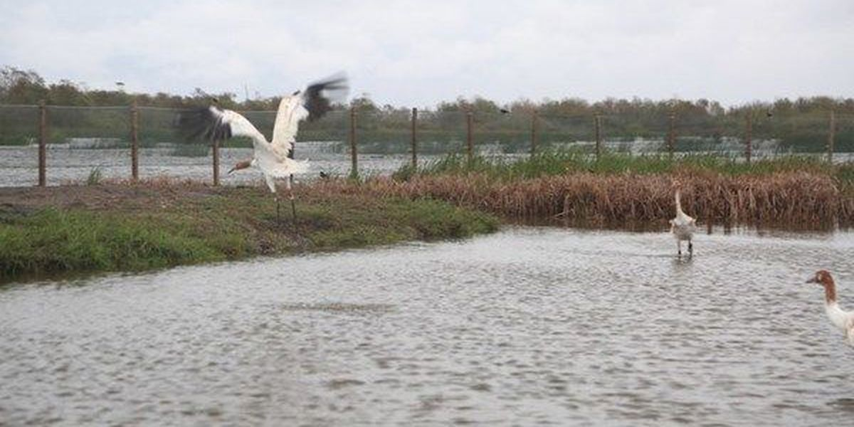 $9,000 reward offered for information on shooting of endangered whooping cranes in Acadia Parish