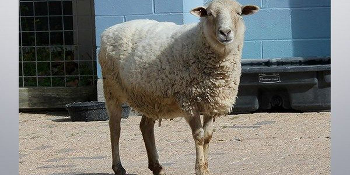 'Freckles' the sheep celebrates 17th birthday at BREC Zoo