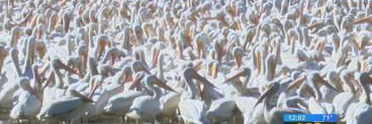 It's that time of year again! Pelicans return to the LSU Lakes
