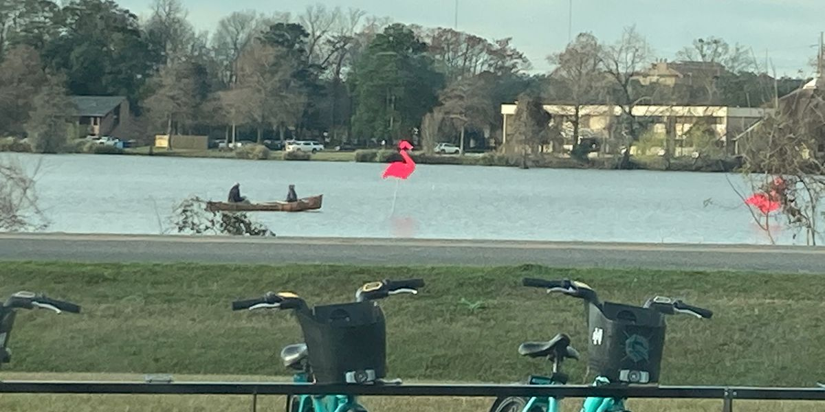 Flamingos once again land at University Lake