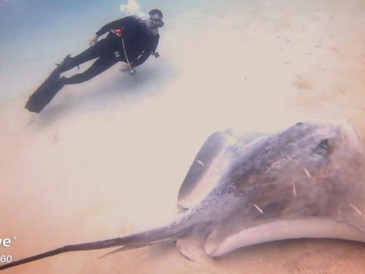 Diver shoots video of giant stingray in the Gulf of Mexico