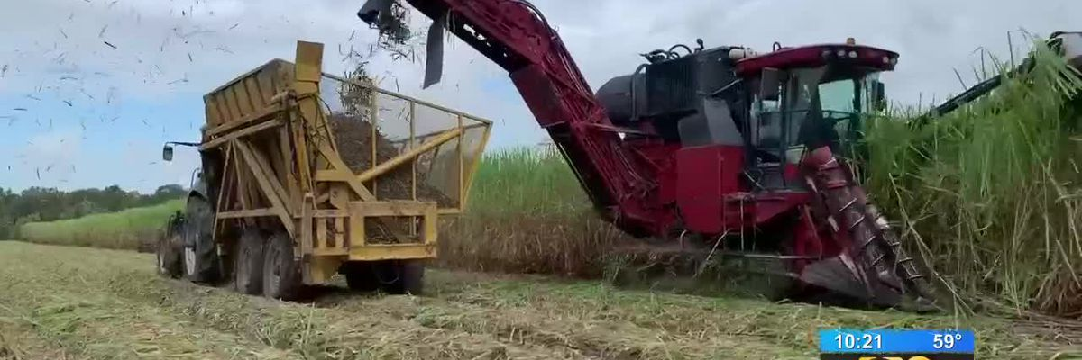 SHOWCASING LOUISIANA: How does sugarcane get from the field to your table?