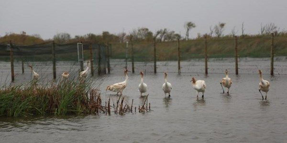 12 juvenile whooping cranes released into the wild at Rockefeller Wildlife Refuge