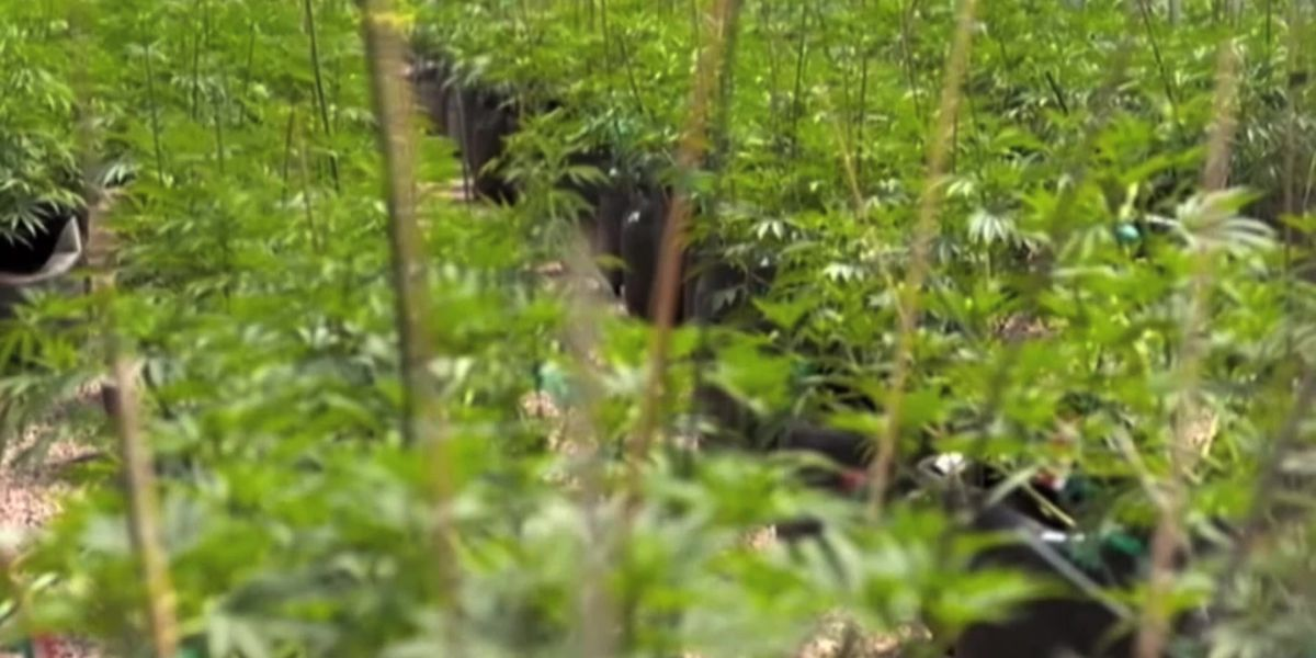 Company sues Louisiana agriculture agency over pot testing