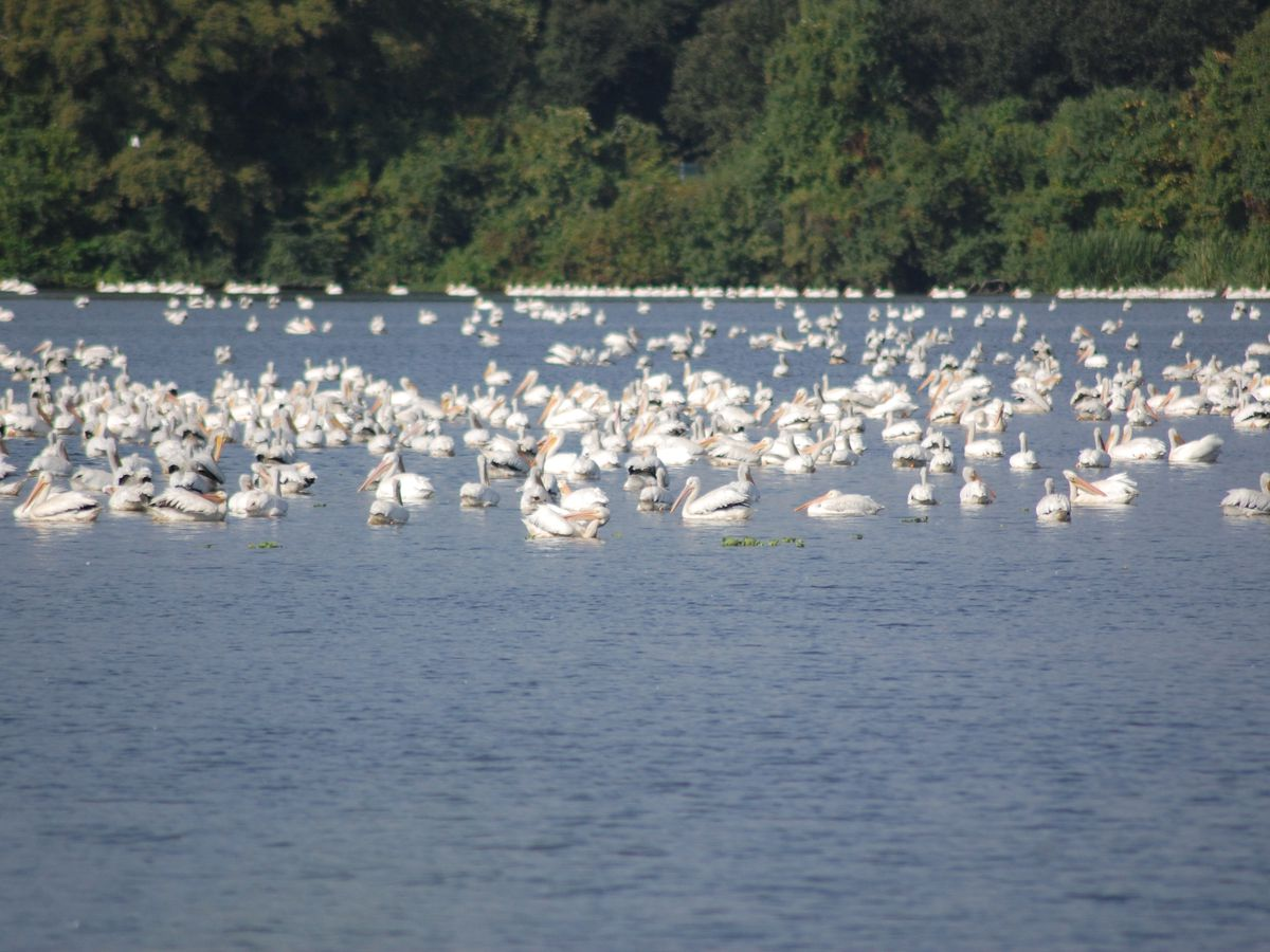 It's that time of year again! Pelicans return to the University Lakes