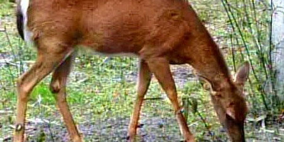 Chronic Wasting Disease suspected in second Mississippi white-tailed deer