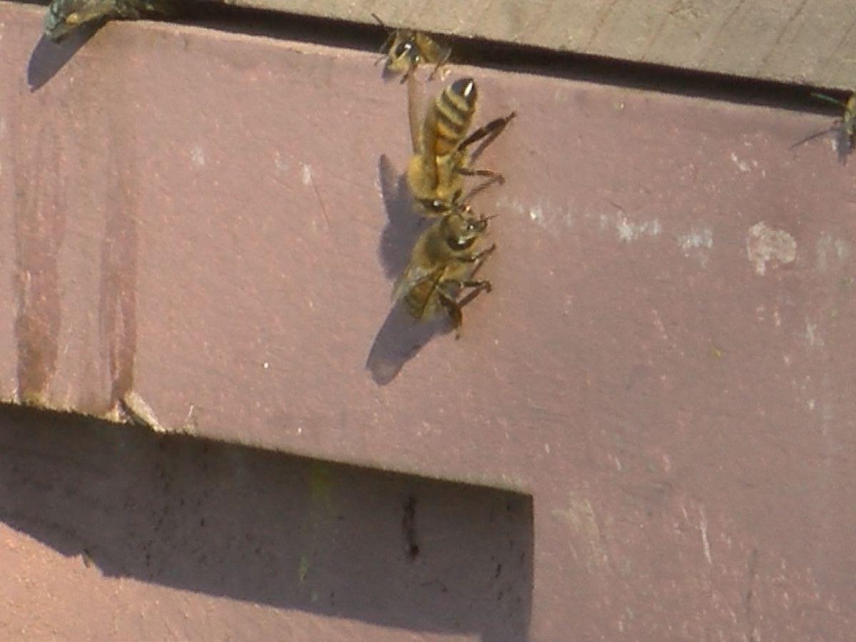 Denham Springs man is raising 'queens' at Louisiana Gold Honey Farm