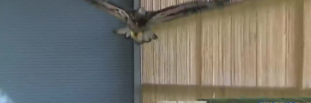 Bald eagle restored to health by LSU vet school released back into the wild