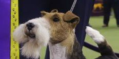 Wired to win: Wire fox terrier King is Westminster best in show