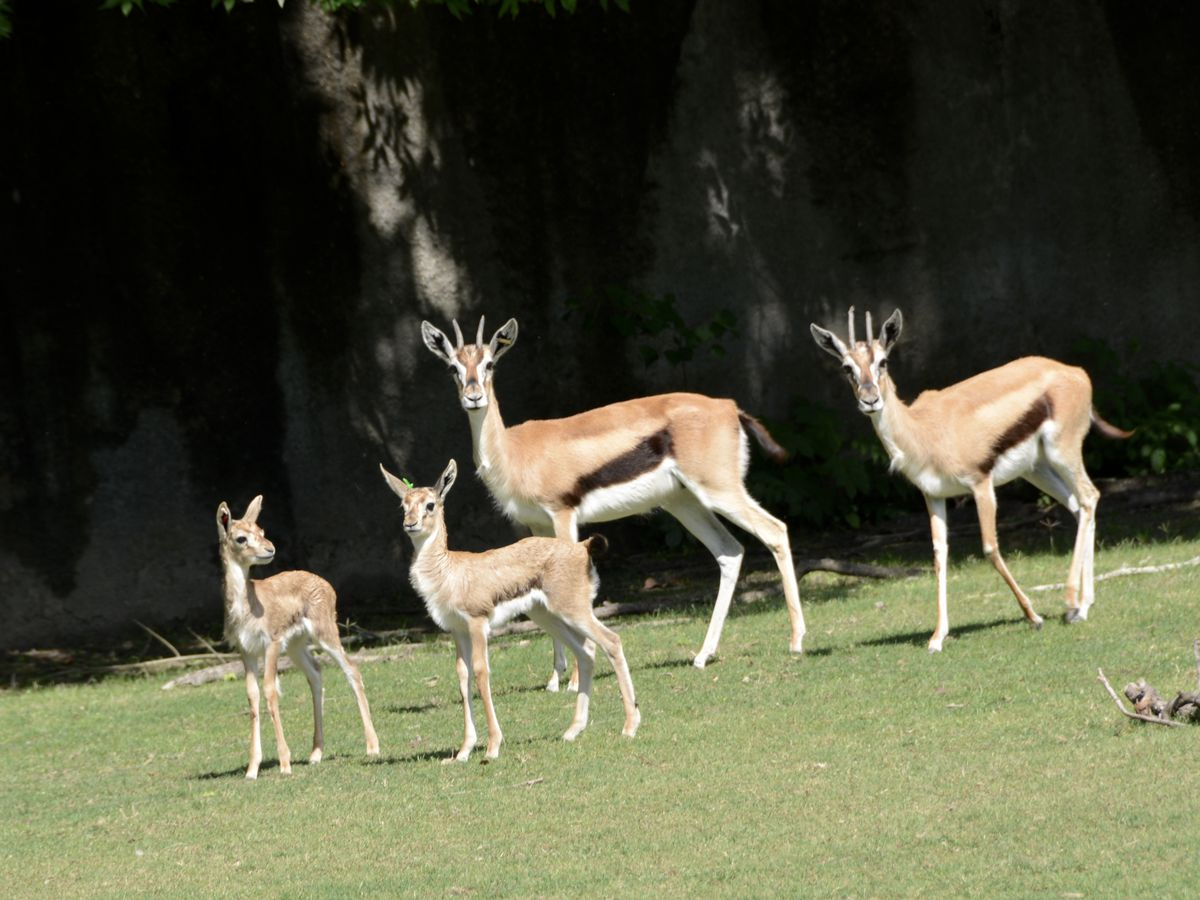 Two Thompson's Gazelle born at BREC's Baton Rouge Zoo