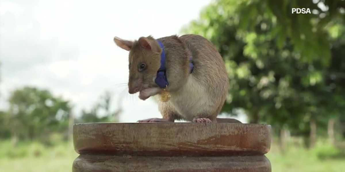 Giant rat wins animal hero award for sniffing out landmines