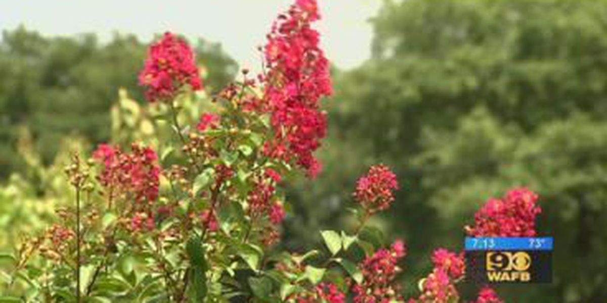 GET IT GROWING: How to tell if your crape myrtle has a disease