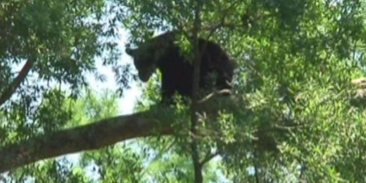 How common are black bears in Louisiana?