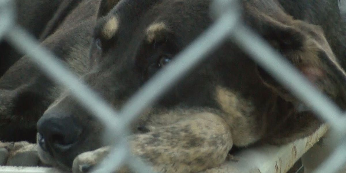 Denham Springs animal shelter under construction, in need of fosters