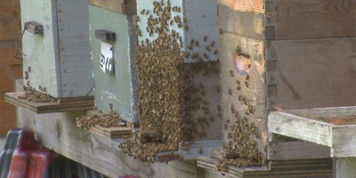 Honey bees in Louisiana affected by Colony Collapse Disorder