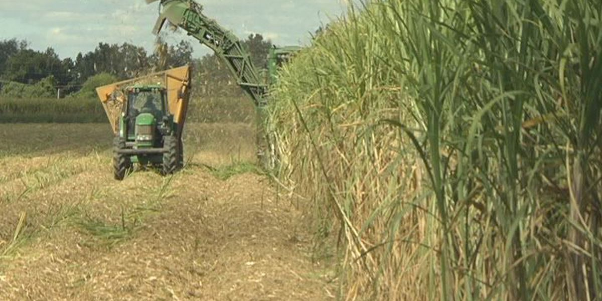 Sugar cane workers call for safety during harvest season