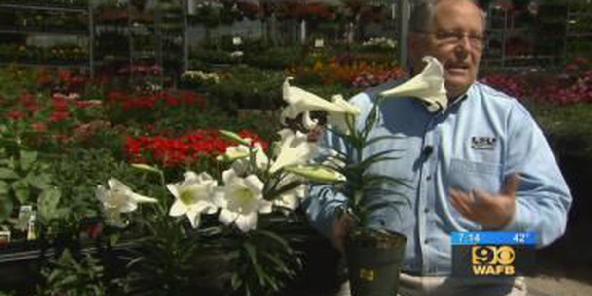 Get It Growing: Easter lillies make outstanding landscape plants
