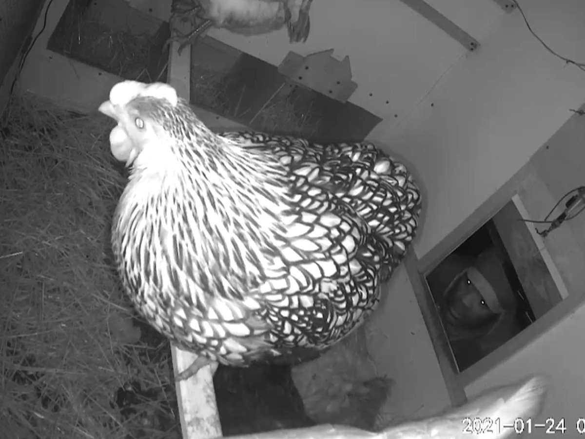 Caught on Camera: Man steals chickens from backyard coop in New Orleans