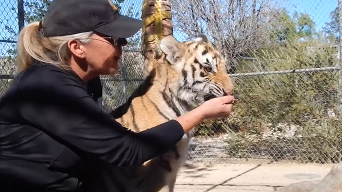 Illegally owned tiger rescued by California zoo