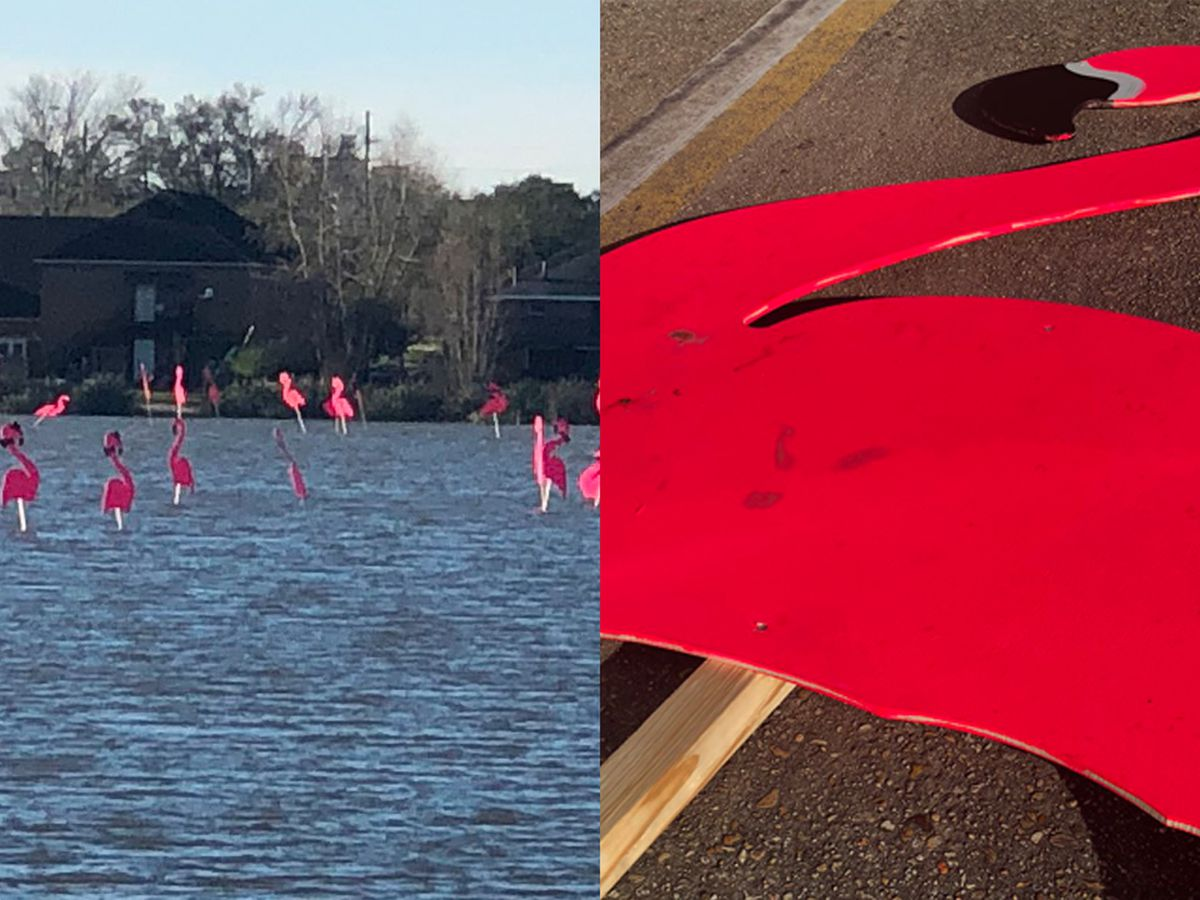Spanish Town flamingos land at University Lake
