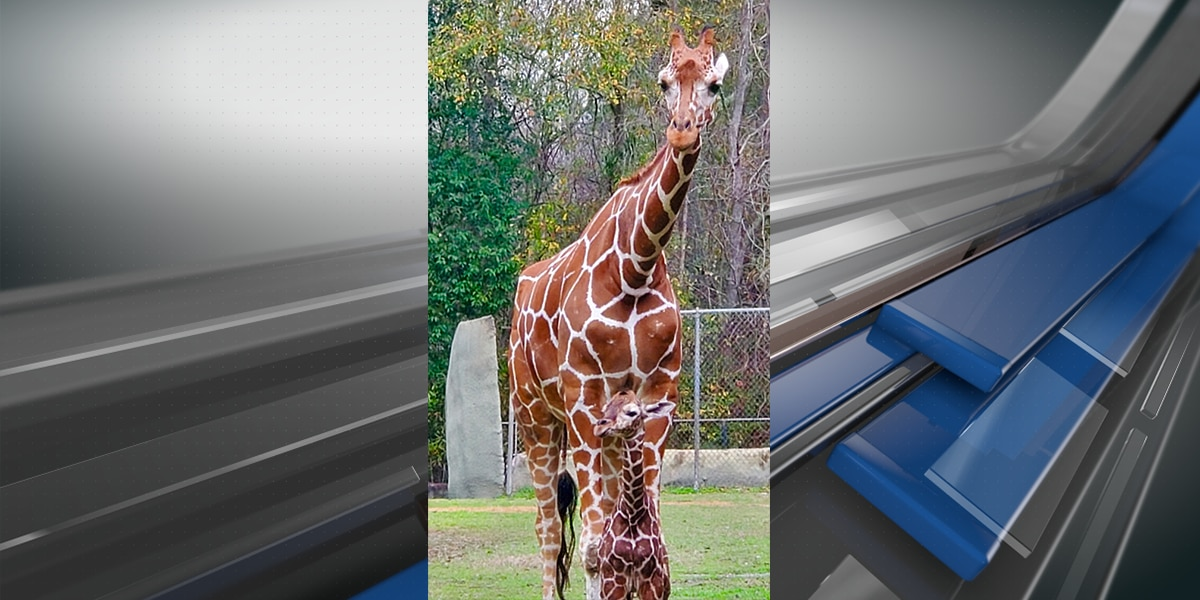 IT'S OFFICIAL! Baton Rouge Zoo names new baby giraffe 'Burreaux' after public contest