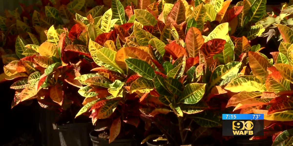 GET IT GROWING: Crotons, a perfect Autumn plant
